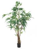 Fíkus longifolia strom, 180 cm