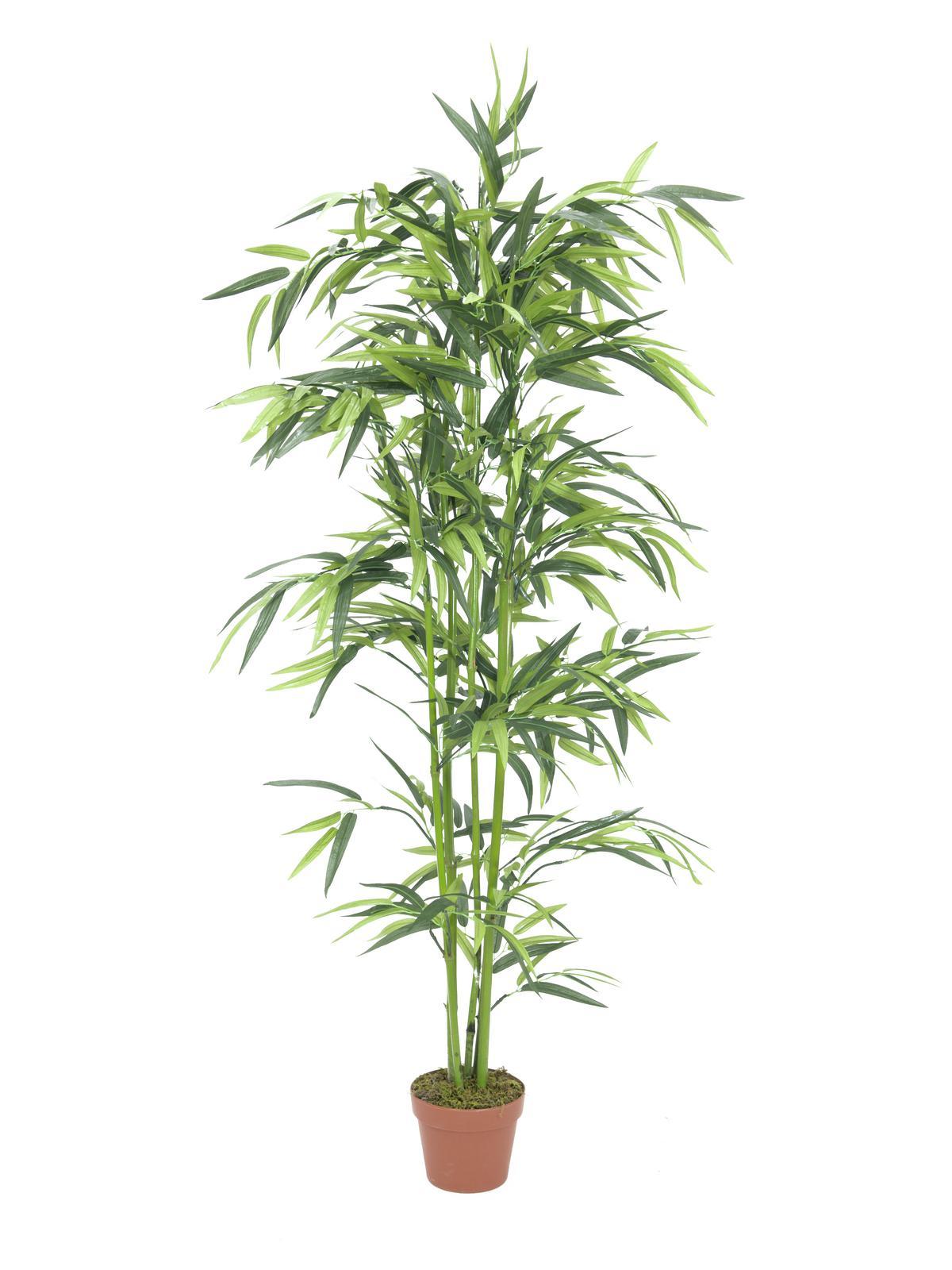 bambus shop phyllostachys humilis bronzebambus bambusmann. Black Bedroom Furniture Sets. Home Design Ideas