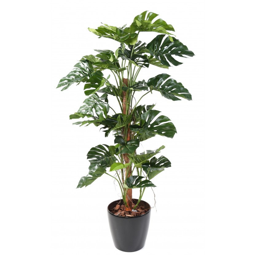 Philodendron palma deluxe, 160cm