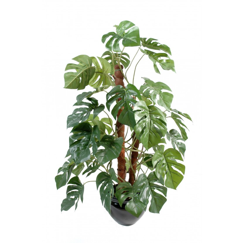 Philodendron palma, 100cm